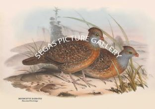 DENDRORTYX BARBATUS - Bearded Partridge